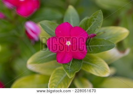 One Single Red Impatient Flower With Green Leaves