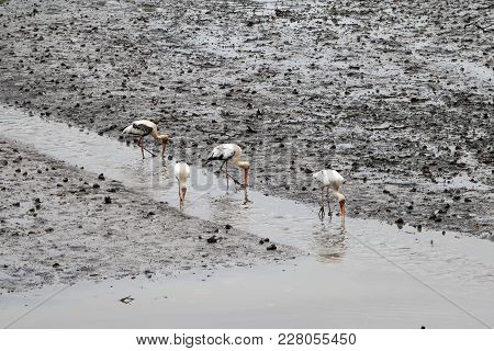 4 Milky Storks, An Endangered Species,  Hunting For Food In The Stream Of A Mud Flat In Sungei Buloh