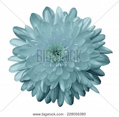 Flower Chrysanthemum  Turquoise On A White Isolated Background With Clipping Path. Nature. Closeup N