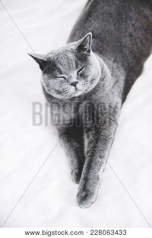 Grey British shorthair cat laying on a white bedding. Domestic animals.
