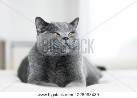 Sweet grey cat laying on the bed with eyes closed. British shorthair cat.