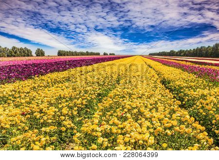 Long stripes of yellow, red and purple flowers. Clouds fly in the blue sky. The huge field of spring garden buttercups. Concept of rural and ecological tourism