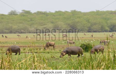 Hippopotamus, Wildebeest and other animals grazing in Lake Manyara National park, Tanzania