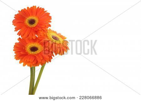 Red gerbera flower isolated on white.