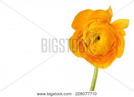 Yellow anemone flower isolated on white.