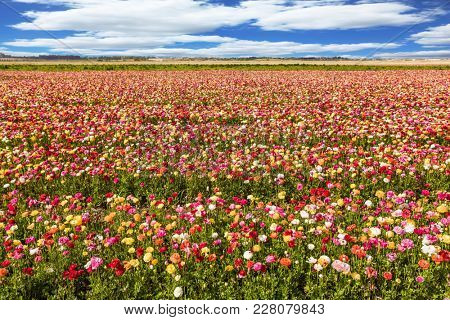 Huge field of spring flowering garden buttercups. Kibbutz in the south of Israel. Concept of ecological and rural tourism