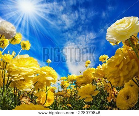 Warm sunny day in May. Large yellow garden buttercups - ranunculus bloom on a farm field. Light  clouds fly in the blue sky. Concept of ecological and rural tourism