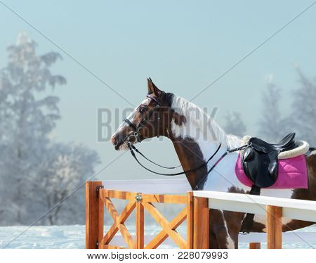 American Paint horse with bridle and english saddle against background of winter landscape.