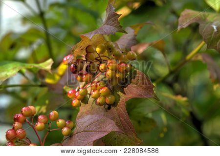 Berries Of The Guelder-rose Growing In The Autumn Wood.