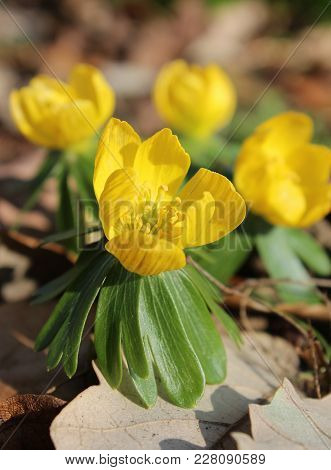 The Beautiful Bright Yellow Flowers Of Anemone Ranunculoides, Also Known As The Yellow Wood Anemone,