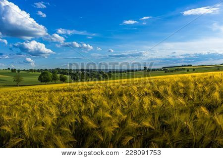 Grain Field In Summer In Front Of An Avenue Street