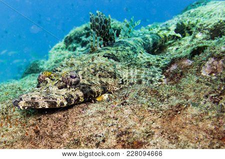 Crocodile Fish In The Sultanate Oman Hallanyiat Islands