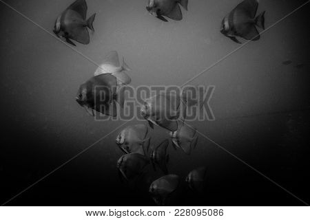 Swar Of Bat Fishes In The Oman Hallanyiat Island
