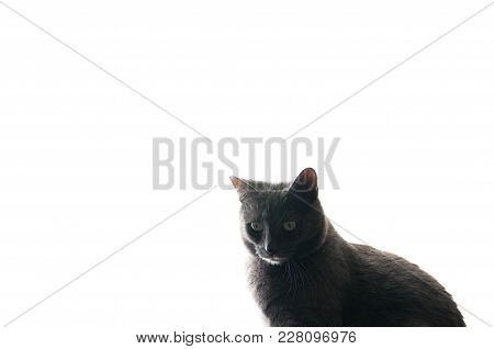 Chartreux House Cat Sitting In The Window, Isolated On  Natural Bright Light