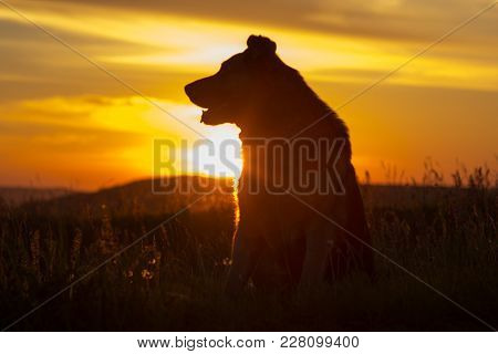 A German Shepherd Looks At The Sunset