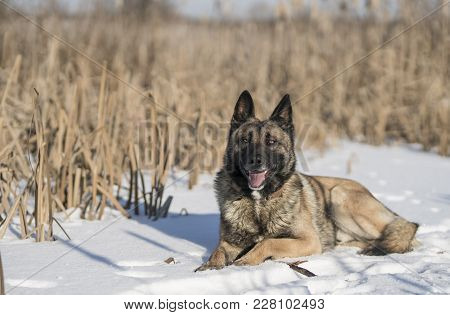 German Shepherd In A Winter Sunny Day In Reeds In The Snow