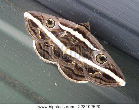Close Up Of A Moth Using Batesian Mimicry