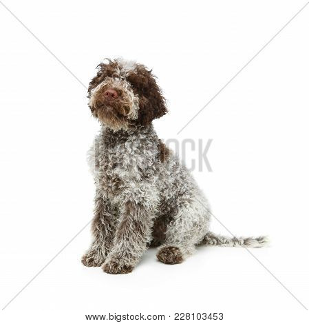 Beautiful Fluffy Lagotto Romagnolo Puppy Dog. Studio Shot Isolated On White Background. Copy Space.