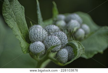 A Warm Summer Day, Among The Tender Green Foliage Of Young Burdock, White, Fluffy, Balls Of Prickly