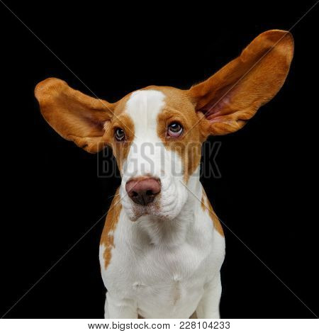 Beautiful Beagle Dog With Flying Ears Isolated On Black Background. Studio Shot. Copy Space.