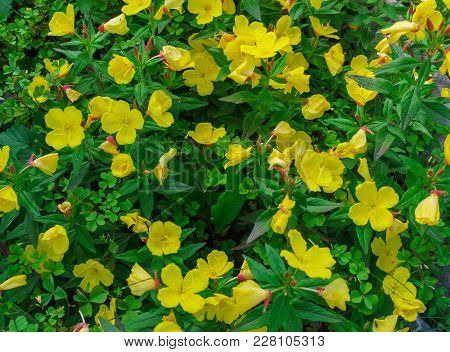 Shrubby Evening Primrose . Yellow Evening Primrose Flowers In A Garden.