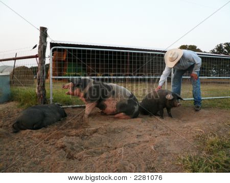 Pigs And Farmer