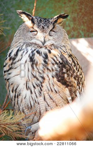 Eurasian Eagle-owl is sitting on branch in zoo poster