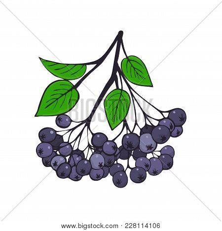Isolated Branch Of Black Ashberry With Foliage. Berries Of Aronia. Vector