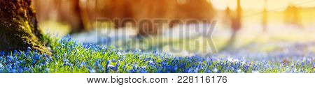 Panoramic View To Spring Flowers In The Park. Scilla Blossom On Beautiful Morning With Sunlight In T