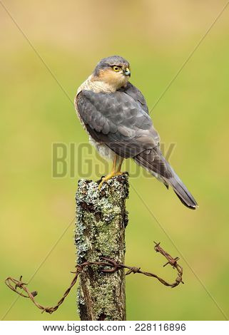 Close Up Of An Adult Male Eurasian Sparrowhawk (accipiter Nisus) Perching On A Mossy Log, Scotland.
