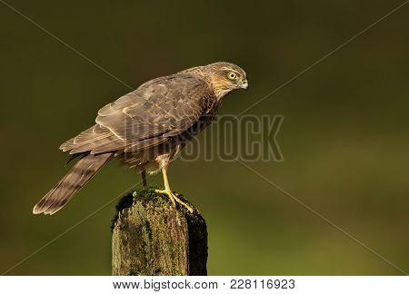 Juvenile Eurasian Sparrowhawk (accipiter Nisus) On A Mossy Log, Scotland, Uk.