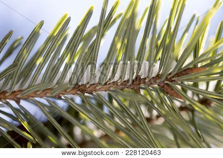 Snow Covered Christmas Tree On Holiday Background. Macro Foto. Closeup.