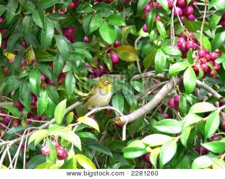 Cape Whiteeye Bird Sitting In Eugenia Tree