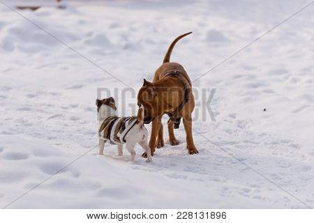 Dogs of the breed Staffordshire Terrier and Jack Russell Terrier playing in the snow.