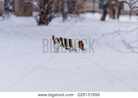 Dog Breed Jack Russell Terrier Walks Through The Snow.