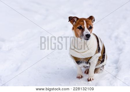Dog breed Jack Russell Terrier sits on the snow.