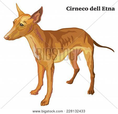 Portrait Of Standing In Profile Cirneco Dell Etna Dog, Vector Colorful Illustration Isolated On Whit