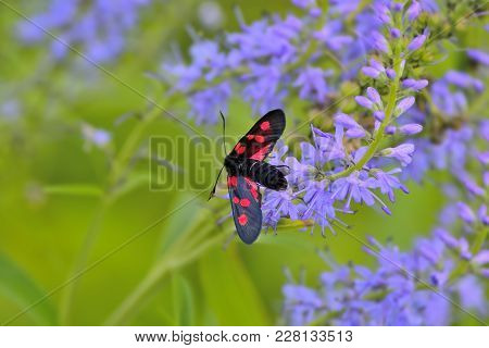 Butterfly Zygaena Filipendulae With Bright Red Spots On Wings Close Up On Blue Veronica Fower Sittin