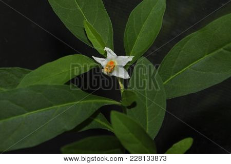 Flowers Of Decorative Solanum On A Background Of Green Leaves Close-up