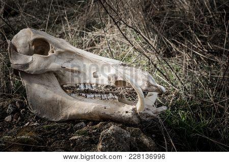 Skull Of A Wild Boar In A Dark, Gloomy Style, Side View