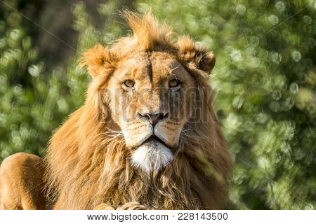 Close-up Of Male Lion Lying On A Branch Of A Tree