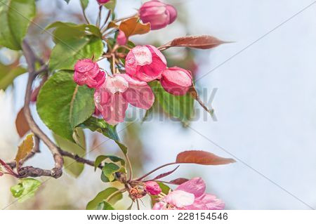 Spring Branch With Pink Small Flowers. Background. Copy Space.