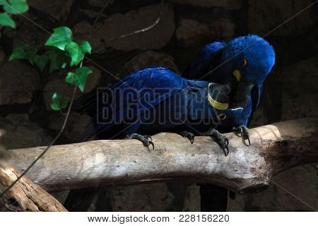 Two Cute Blue Parrots Kissing Each Other