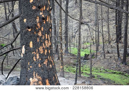 Bark Of A Pine Tree Pitted From The Heat Of A Forest Fire.