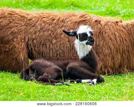 Baby Llama. Cute And Funny South American Mammal.