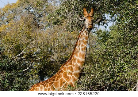 An Adult Giraffe Scanning The Savannah For Safety, As Her Young One Is Only Steps Behind