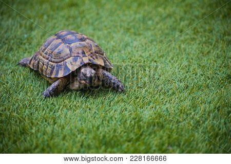 The Turtle Dwells On The Grass Walking