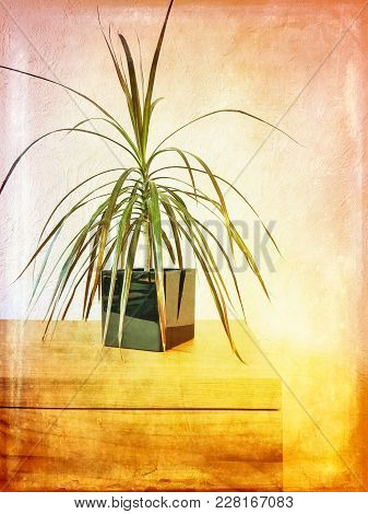 Madagascar Dragon Tree Houseplant On A Wooden Dresser. Artistic Grungy Image.