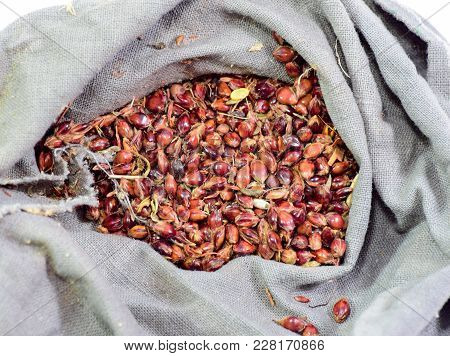 Sorghum Seeds In A Bag. Red Seeds Of A Broom. Sorghum Stern. A Bag Of Sorghum Seeds. Sorghum Seeds F