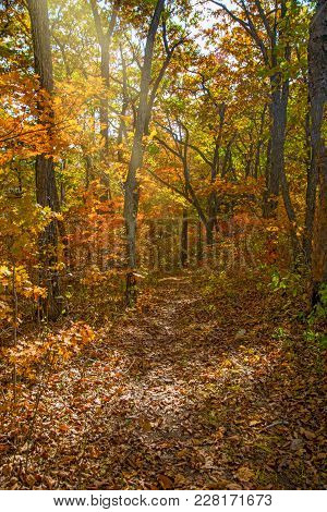 Autumn Forest, All The Foliage Is Painted With Golden Color In The Middle Of The Forest Road. Sunny